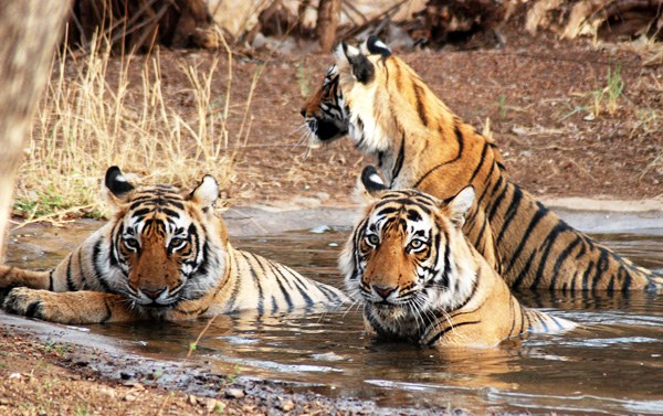 tigers in kanha national park