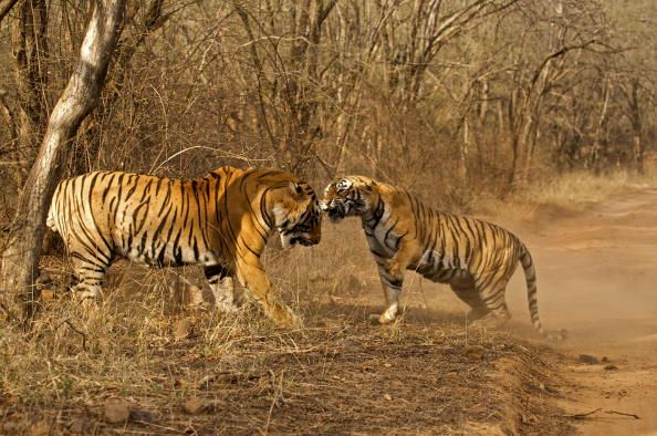 tiger fighting in bandhavgarh national park