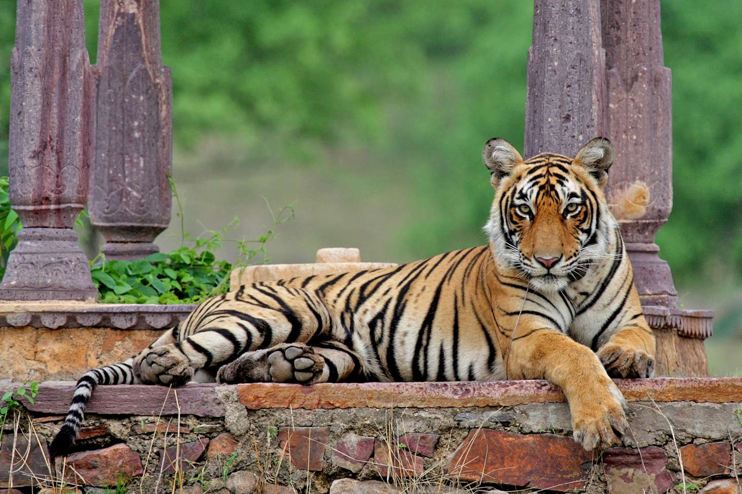 tiger sitting in gir national park