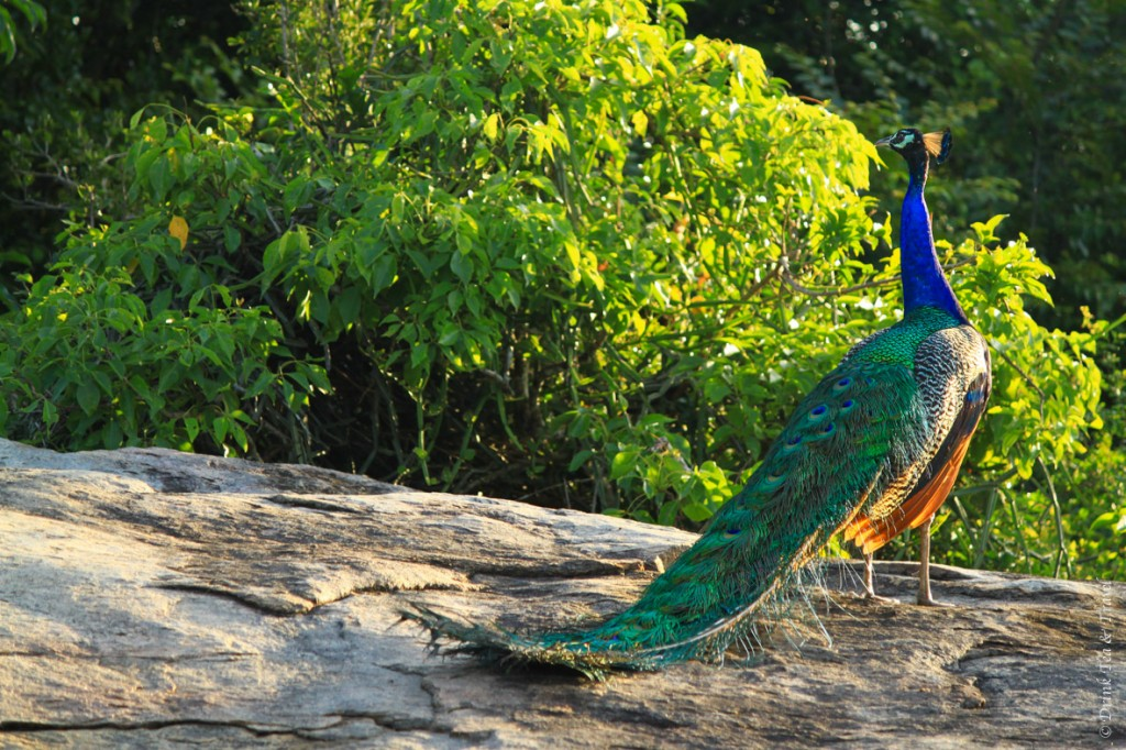 peacock in jungle in india