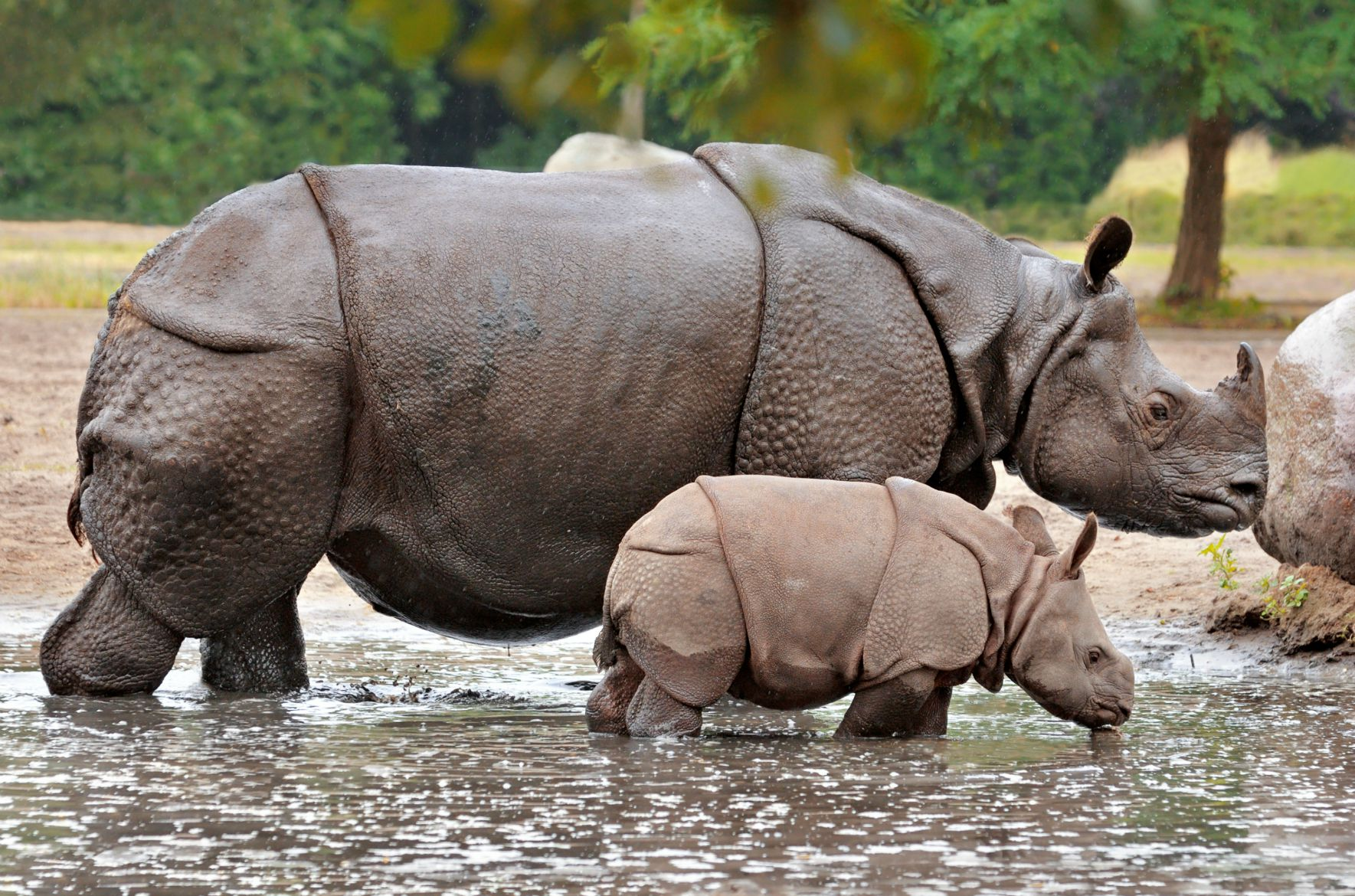 single horn rhino with baby rhino