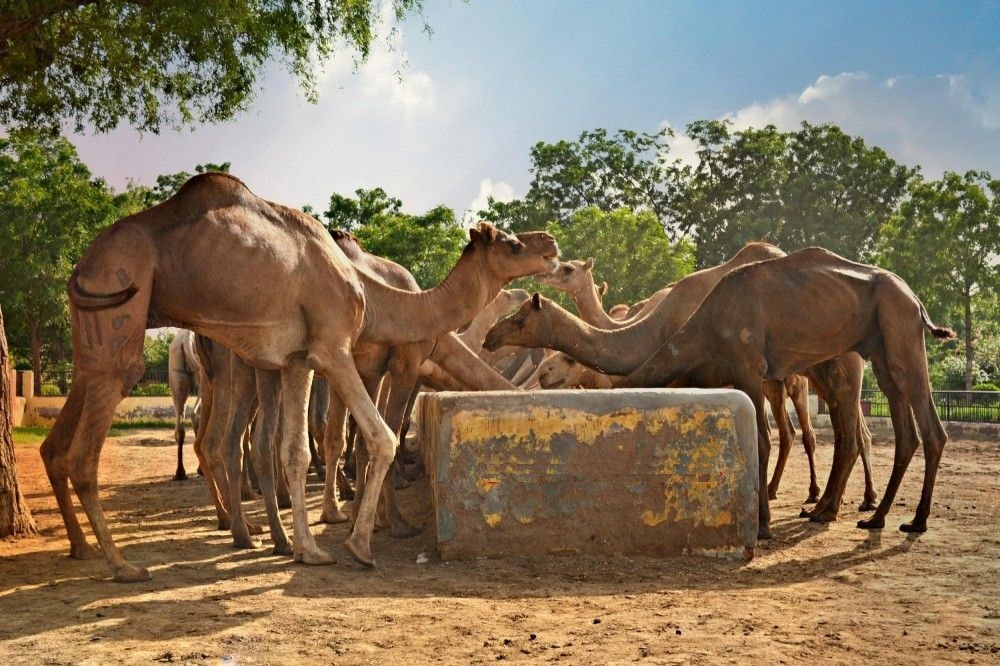 camel breeding farm activities besides exploring the splendid forts and palaces