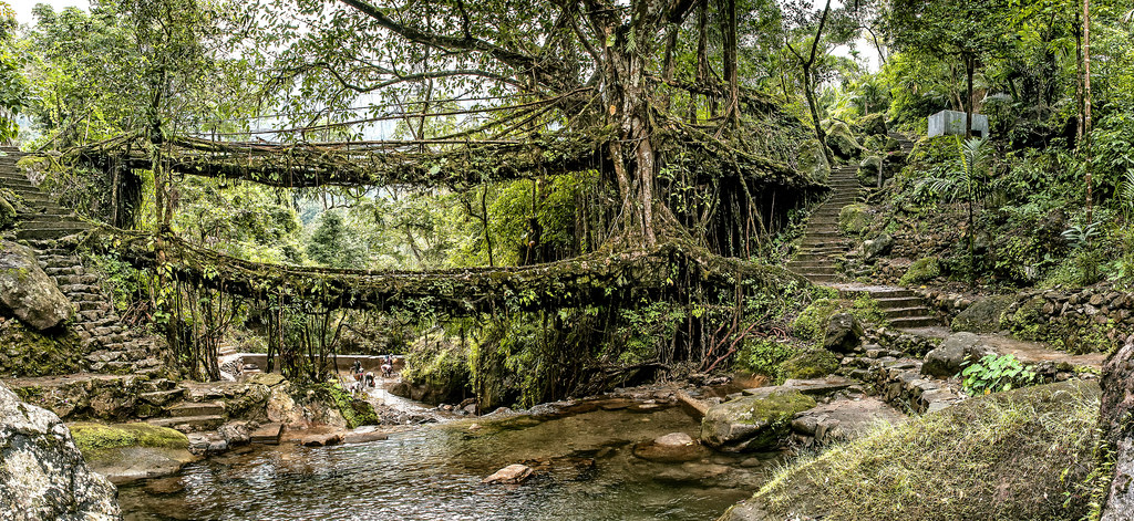 living root bridge shillong - place to visit for sumer vacations in india with family